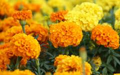 Marigold Wallpaper