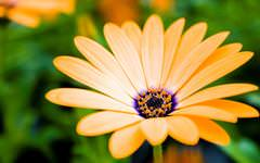 Orange Marguerite