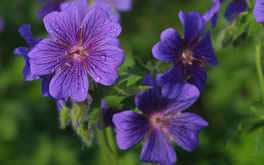 Purple Flower Wallpaper