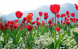 Red Tulips Picture
