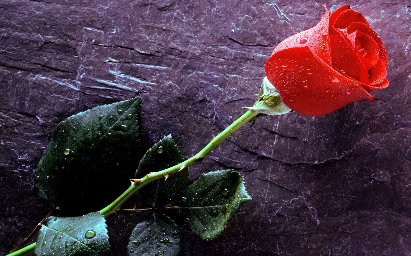 Rose Flower Wallpaper 1440x900