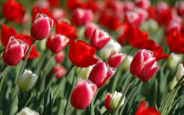 Srping Tulips Wallpaper