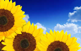 Sunflowers Image