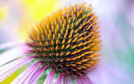 Wonderful Coneflower