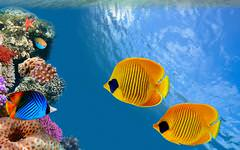Butterfly Fish Wallpaper