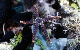 Starfish Underwater Picture