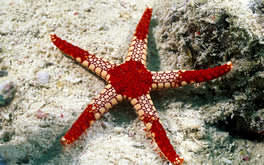Starfish Underwater Wallpaper