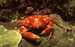 Underwater Crab Wallpaper