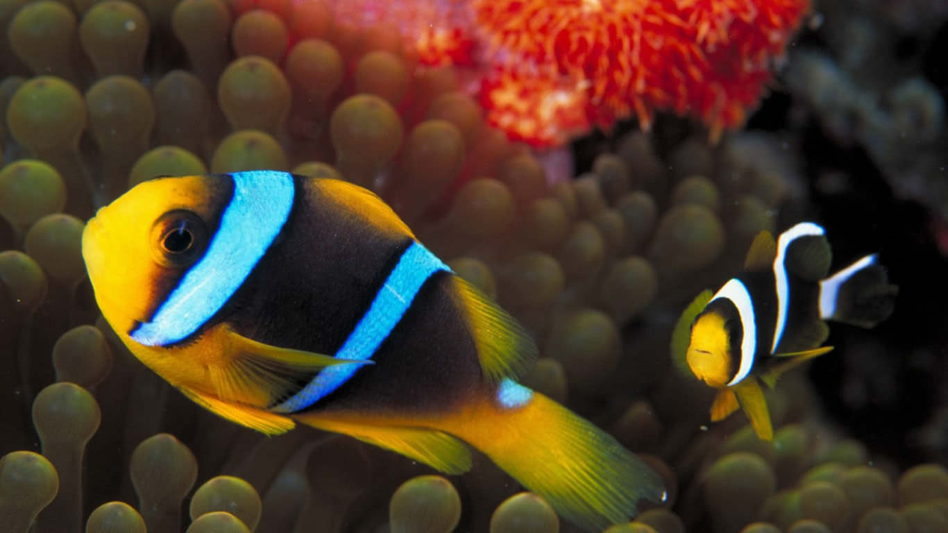 Underwater Fish Wallpaper 1366x768