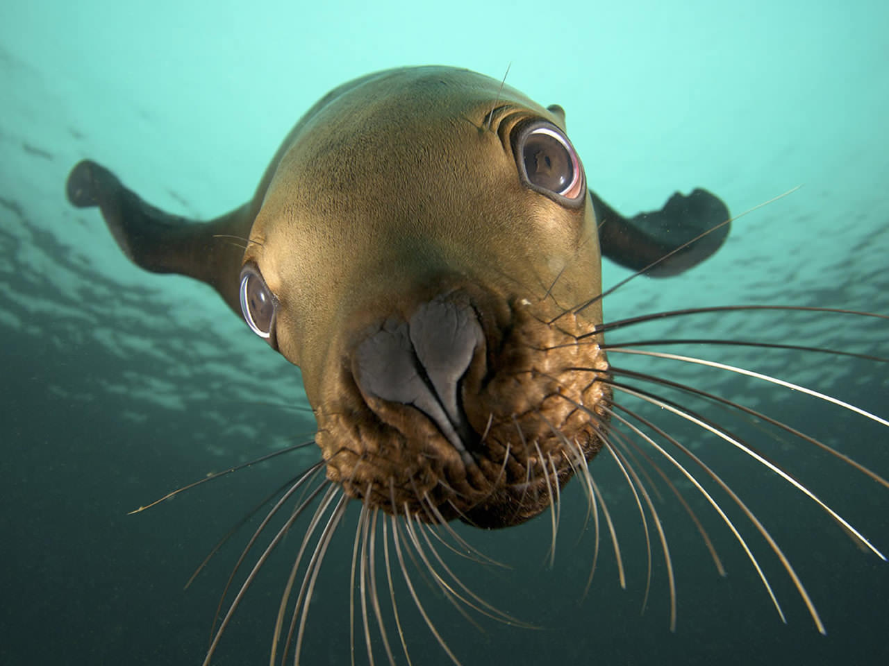Underwater Seal Wallpaper 1280x960