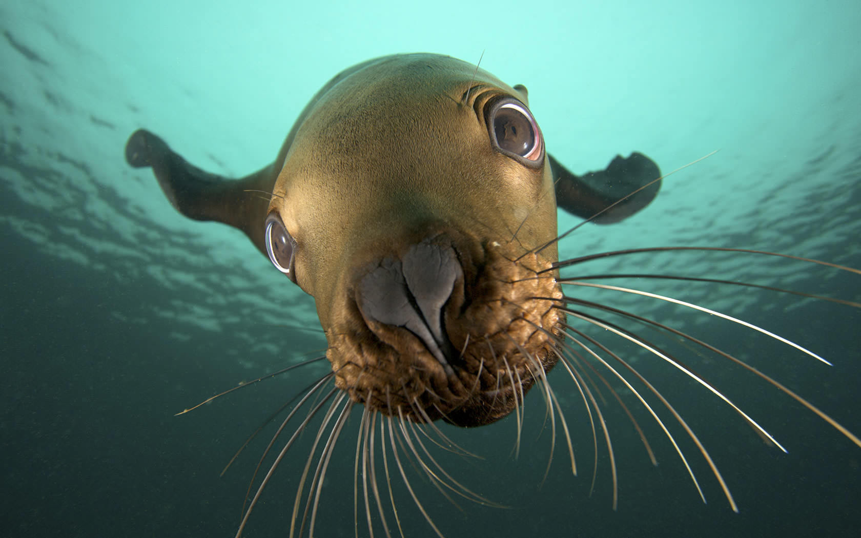 Underwater Seal Wallpaper 1680x1050