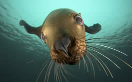 Underwater Seal Wallpaper