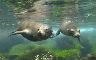 Underwater Seals Picture